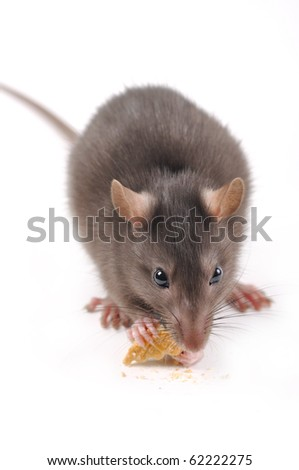rat with cookies on a white background - stock photo