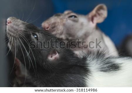 rats - stock photo