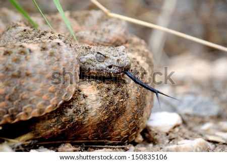 rattle snake - stock photo