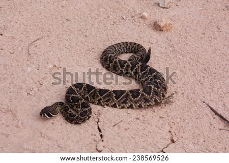 rattlesnake - stock photo