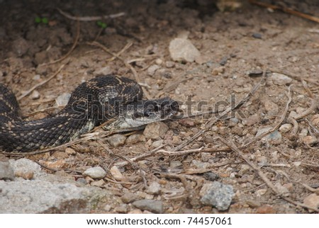 rattlesnake crawling out from under a rock - stock photo