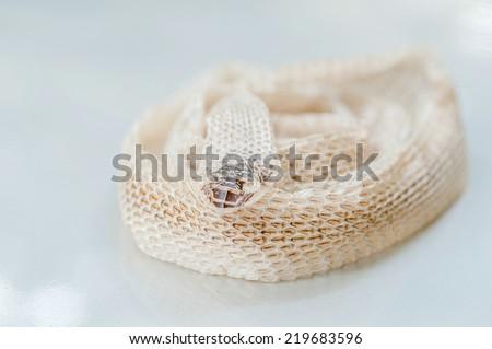 Rattlesnake's shed snakeskin isolated on white. - stock photo