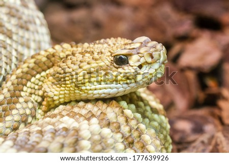 Rattlesnake (South American) resting close-up - stock photo