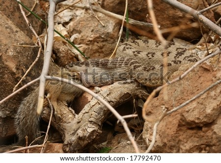 rattlesnake with prey - stock photo