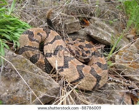 Rattling Timber Rattlesnake, Crotalus horridus - stock photo
