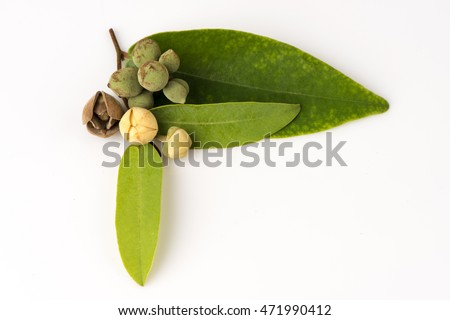 Rauwenhoffia siamensis Scheff.: Flowers, home decor, oil extracted from the flowers. The spices and medicinal properties.