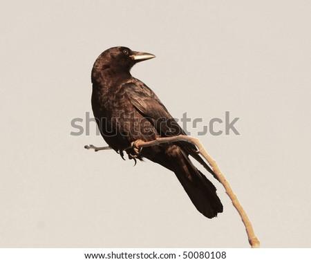 raven crow - stock photo