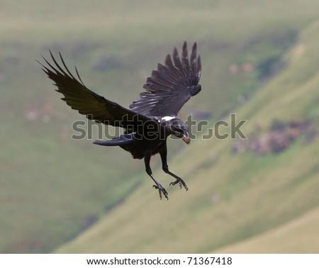 raven in flight - stock photo