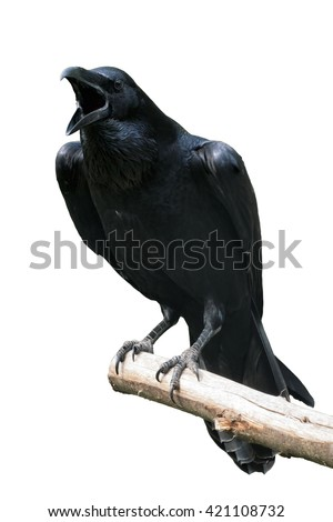 Raven Isolated - Raven calling out on Tree Branch