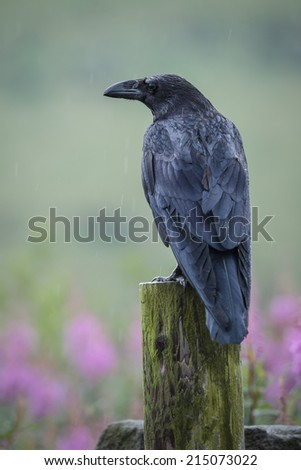 Raven on a dull day with purple flowers - stock photo