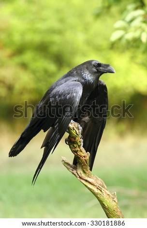 Raven relaxing - stock photo
