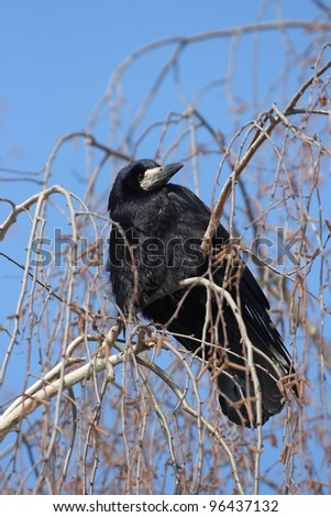 Raven sitting on a tree. The end of winter. - stock photo