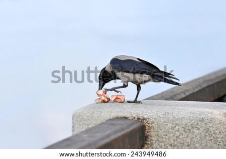 Raven with piece of meat and bone - stock photo