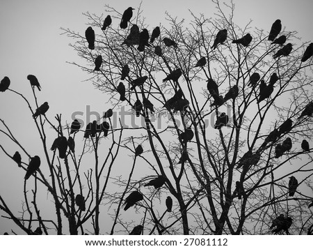 Ravens on the branch. - stock photo