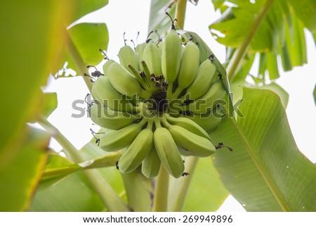 Raw banana on a tree - stock photo
