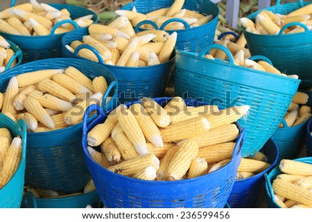 Raw Corn in basket. - stock photo
