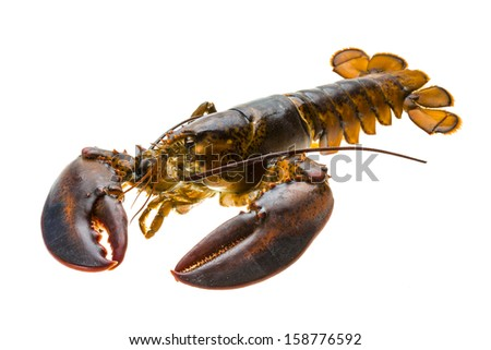 Raw lobster