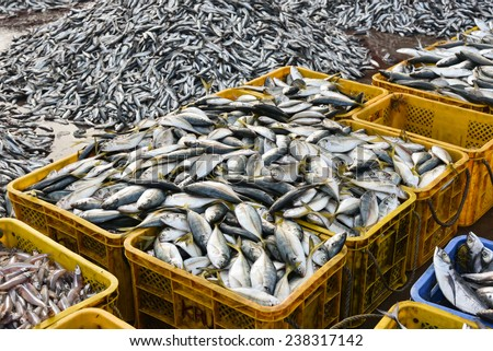 Raw mackerel fish on display for sale.  pelagic fish. Seafood. Fish market in India. Fish high in omega-3 oils.Indian mackerel. Basket full of fish. - stock photo
