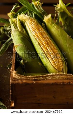 Raw Organic Yellow Seet Corn Ready to Cook - stock photo
