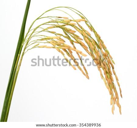 Raw rice, black rice and paddy rice . - stock photo