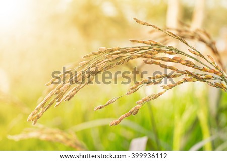 Raw Rice flied agriculture plant in the nature. - stock photo