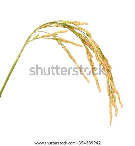 Raw rice, White rice and paddy rice . - stock photo