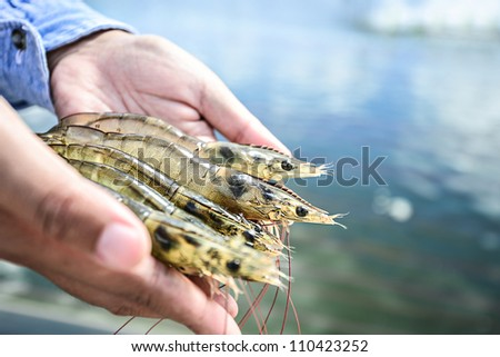 Raw white shrimp on hands in front of the aquaculture pond - stock photo