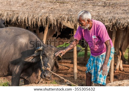 RAXAUL, INDIA - NOV 9: Unidentified Indian man working at a buffalo farm on Nov 9, 2013 in Raxaul, Bihar, India. Bihar is one of the poorest states in India. The per capita income is about 300 dollars