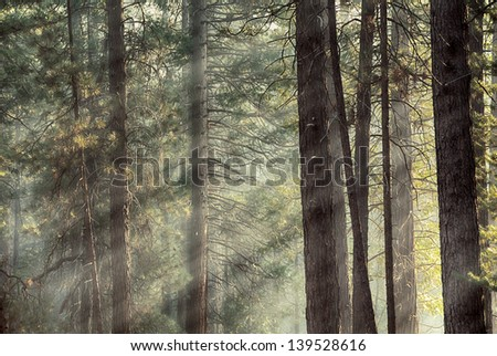 Rays of early morning light in a pine forest in Yosemite national park. Dreamy effect - stock photo