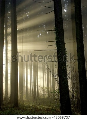 Rays of the rising sun falls into the misty coniferous forest. - stock photo