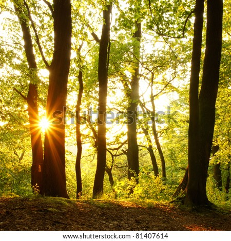 Rays of the setting sun in the forest - stock photo