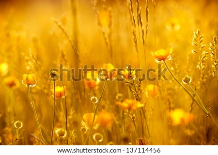 Rays of the setting sun on yellow flowers- meadow flowers - stock photo