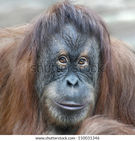 Reading thoughts look  of an orangutan female. Wild beauty of a human-like monkey. Expressive face of a great ape. - stock photo
