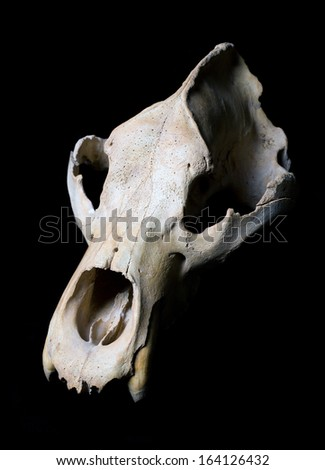 Real animal bear scull. Photo with black background