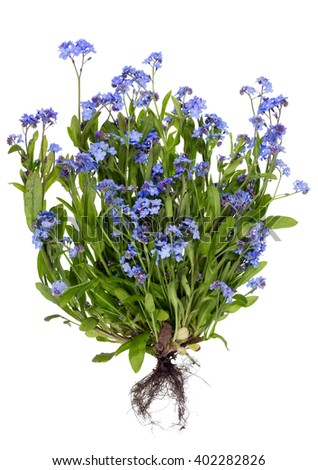 Real blue spring May flowers bush isolated. Big plant with small root concept.
