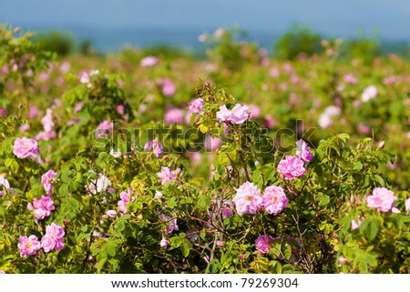Real Bulgarian Damascena Rose from Rose Valley - stock photo