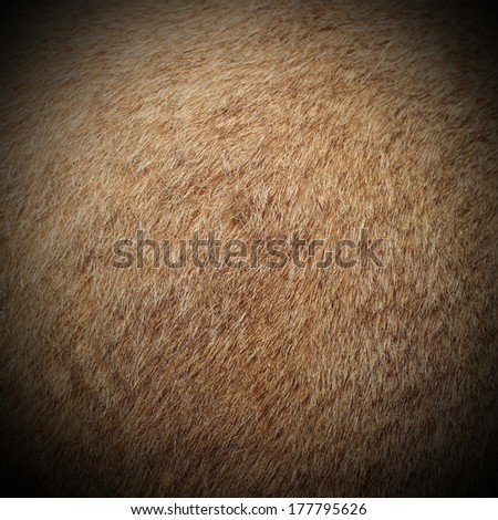 real cougar ( mountain lion, puma concolor  ) textured  fur, image taken on a hunting trophy - stock photo