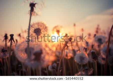 Real field and dandelion at summer sunset - stock photo