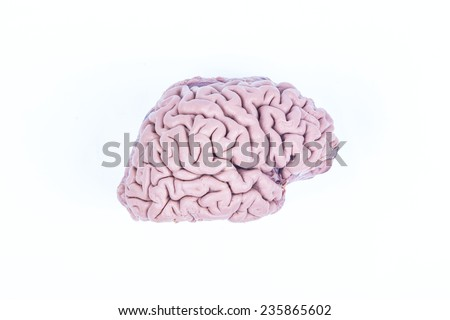 real human brain isolated on white - stock photo