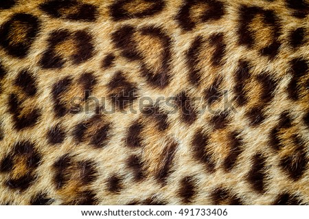 Real jaguar skin for background and texture