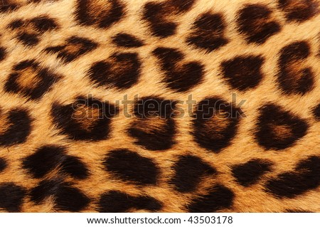 Real leopard skin spots, makes for cool background - stock photo