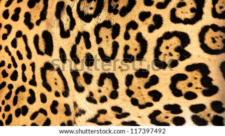 Real Live Jaguar Skin Fur Texture Background Panthera Onca - stock photo