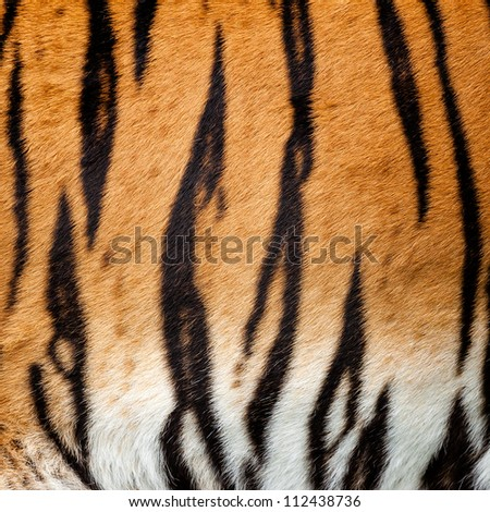 Real Live Tiger Fur Stripe Pattern Background Panthera Tigris - stock photo