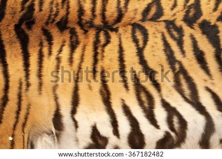 real tiger black stripes on colorful animal skin - stock photo