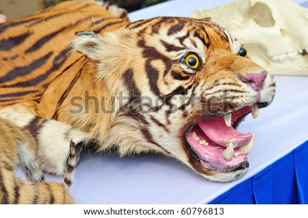 Real  Tiger Head With Skin On Display