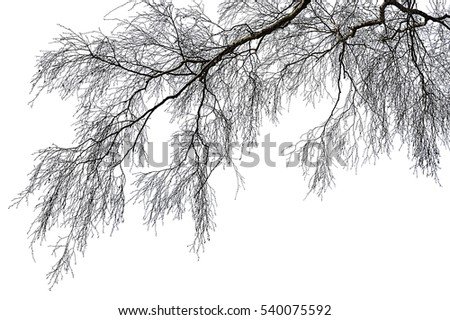 Realistic birch tree branches silhouette (illustration).