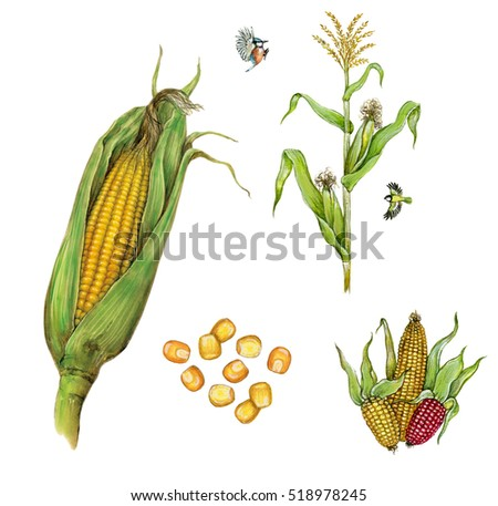 how to use corn cobs