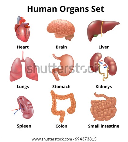 Realistic Human Organs Set Anatomy Stock Illustration 694373815 ...