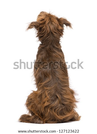 Rear view of a Crossbreed, 5 months old, sitting and looking up against white background - stock photo
