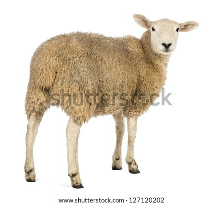 Rear view of a Sheep looking back against white background - stock photo